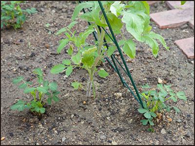 メキシコのトマト/コンパニオンプランツ(植栽配置)落花生