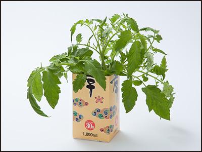 メキシコのトマト わき芽摘み