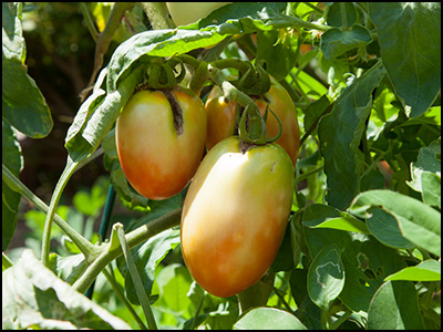メキシコのトマト 実の生長(8月28日撮影)