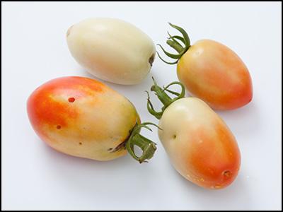 メキシコのトマト 完熟トマトにならず